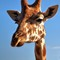 Giraffe - Taronga Zoo Sydney Australia