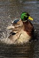A male mallard cleaning his feathers.