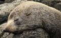 Baby Seal napping