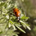 Ladybird/bug