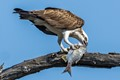 Eastern Osprey