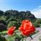 Edinburgh Roses