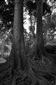 Morton Bay Figs
