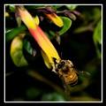 Bee on FireFly