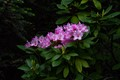 Wild Rhododendron in the forest