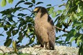 A serpent eagle in Kaziranga National Forest