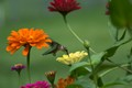 August...Young Hummingbirds & Zinnias