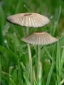 Tiny little Mushrooms in damp lawn grass.