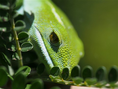 New Zealand Green Gecko - Zealandia Sanctuary