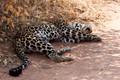Lazy Leopard at Ruaha National Park,, Tanzania