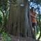 sumpcypress-352cm-alnarp