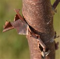 Paper- Bark Maple.....