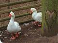 Ducks, when fallen in love....