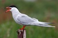 Tern Noisy Territorial Defence