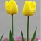 Singing Two Yellow Tulips