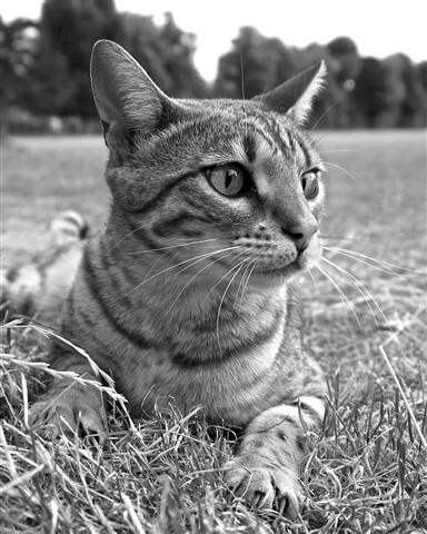 Cat 02 noC 1500px mono