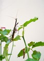 Mantis on rosebush