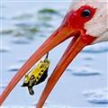 ibis_turtle