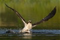 Osprey catching a trout