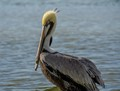 Brown pelican - State Bird of Louisiana