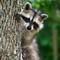 Parker racoon