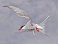 Tern Turn