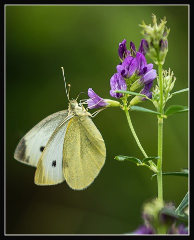 Cabbage white butterfly_2