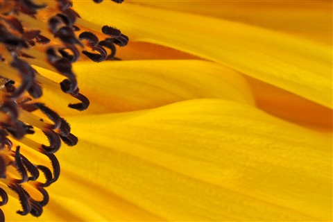 Sunflowers 05