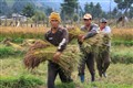 Harvest in Bhutan