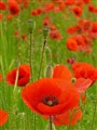 Red Poppies family