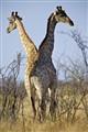 giraffe united