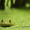 frog in the duckweed