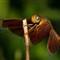 Dragonfly1 web