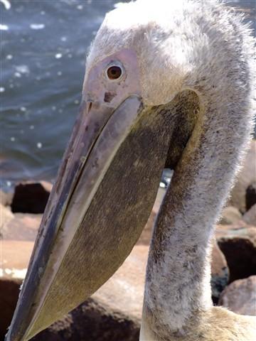 pelican too