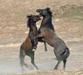 Sparing Stallions