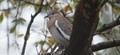 Dove in tree- rainy day