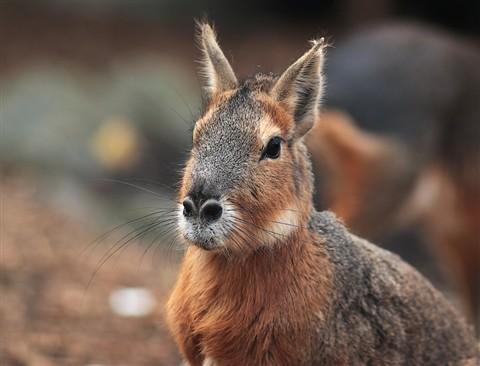 Large Rodent - MARA