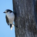 Whiskey Jay (Gray Jay)