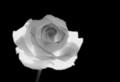 Infra Rose