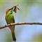 GreenBee-eater