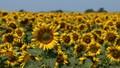 100 sunflowers
