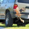 Coopers Hawk-gosling