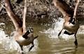 battling ducks