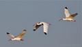 White Ibis's Flying