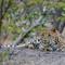 23 May 2015 jhalana leopard 1 copy