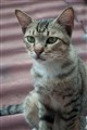 APIN cat