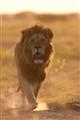 Lion-275