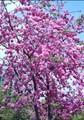 Sakura Blooming