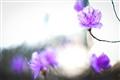 Three purple flowers