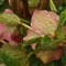 P3230535 - Lenten Rose